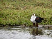Afrikanische Adler Lizenzfreie Stockbilder