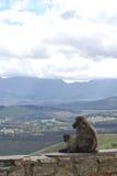 Afrikanische Affen der Mutter und des Babys, die auf der Steinwand sitzen Lizenzfreies Stockbild