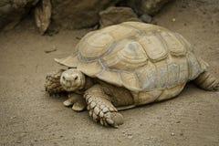 Afrikanische angetriebene Schildkröte Lizenzfreies Stockfoto