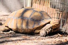 Afrikanische angetriebene Schildkröte Stockbild