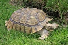 Afrikanische angetriebene Schildkröte, die im kühlen Gras stillsteht Lizenzfreie Stockfotografie