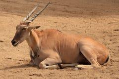Afrikanische Antilope in Calfornia stockbilder