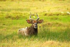 Afrikanische Antilope (Nyala) Lizenzfreie Stockfotografie