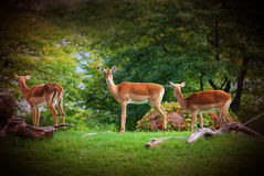 Afrikanische Antilopen lizenzfreies stockbild