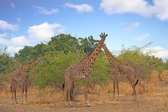 Afrikanische Aussicht mit Giraffen gegen einen netten blauen bewölkten Himmel, Süd-luangwa Nationalpark Lizenzfreie Stockfotos