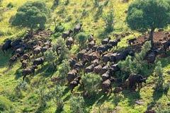 Afrikanische Büffel-Herde Lizenzfreies Stockfoto