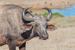Afrikanische Büffel-Kuh Stockbild