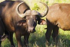 Afrikanische Büffel (Syncerus-caffer) stehend in der Feldnahaufnahme Lizenzfreies Stockbild