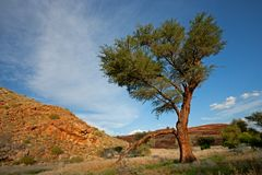 Afrikanische Baumlandschaft, Namibia Stockbilder