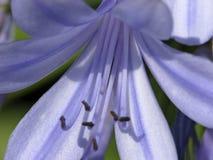 Afrikanische bekannte afrikanische Lilie der Tulpe auch Lizenzfreie Stockbilder