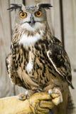 Afrikanische beschmutzte Adler-Eule. Stockbild