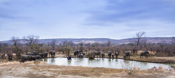 Afrikanische Buschelefanten, die in Nationalpark Kruger baden Lizenzfreie Stockfotos