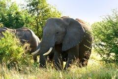 Afrikanische Elefanten lizenzfreies stockfoto