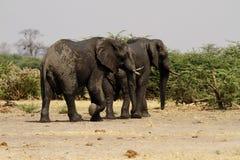 Afrikanische Elefanten Stockfotografie