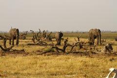 Afrikanische Elefanten Stockfoto