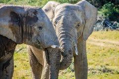 Afrikanische Elefanten Stockfotos