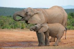 Afrikanische Elefanten, Addo Stockfoto