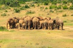 Afrikanische Elefanten Addo Park Lizenzfreies Stockfoto