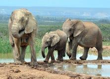 Afrikanische Elefanten in Afrika Stockbilder
