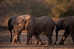 Afrikanische Elefanten des Schätzchens Stockfoto