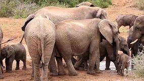 Afrikanische Elefanten, die beim Waterhole drängeln stock footage
