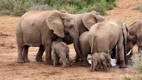Afrikanische Elefanten, die beim Waterhole drängeln stock video footage
