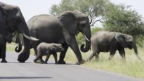 Afrikanische Elefanten, die eine Straße kreuzen Stockfoto