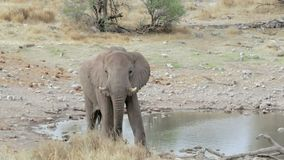 Afrikanische Elefanten, die an einem schlammigen waterhole trinken stock footage