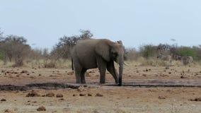 Afrikanische Elefanten, die an einem schlammigen waterhole trinken stock video footage