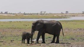 Afrikanische Elefanten, die Mutter mach's gut, ihren Babyelefanten stock video