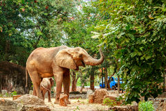Afrikanische Elefanten im Zoo Stockbild