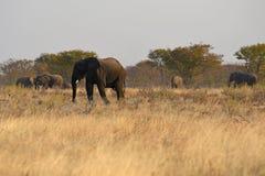 Afrikanische Elefanten Loxodonta africana im Nationalpark Etosha lizenzfreie stockfotografie