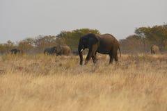 Afrikanische Elefanten Loxodonta africana im Nationalpark Etosha lizenzfreies stockbild