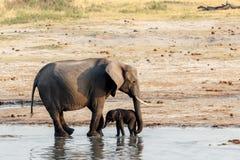 Afrikanische Elefanten mit dem Babyelefanten, der am waterhole trinkt Stockbild