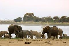Afrikanische Elefanten in See Stockbild