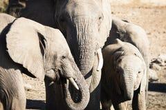 Afrikanische Elefanten stehen zusammen in einer Familien-Gruppe Lizenzfreies Stockfoto