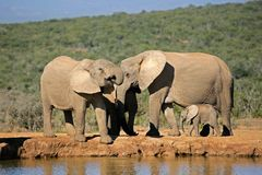 Afrikanische Elefanten am waterhole Stockfotos