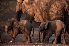 Afrikanische Elefanten, welche die Straße kreuzen Stockfotos