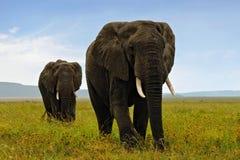 Afrikanische elefants Stockfotografie