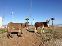 Afrikanische Esel Stockfotos