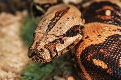 Afrikanische Felsen-Pythonschlange Stockfotografie