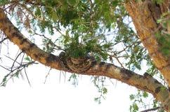 Afrikanische Felsen Pythonschlange in einem Baum lizenzfreie stockfotos