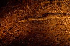 Afrikanische Felsenpythonschlange im Scheinwerfer lizenzfreies stockbild