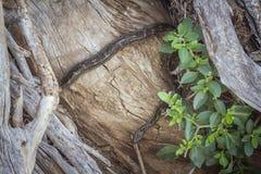Afrikanische Felsenpythonschlange in Nationalpark Kruger, Südafrika stockbild