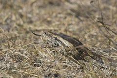 Afrikanische Felsenpythonschlange (Pythonschlange sebae) stockfotografie