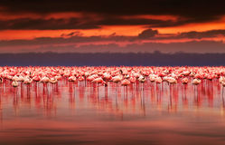 Afrikanische Flamingos auf Sonnenuntergang Lizenzfreies Stockbild