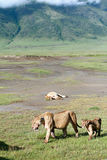 Afrikanische Fleischfresser in Ngorongoro, Löwin und Junges. Stockbilder