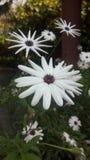 Afrikanische Gänseblümchen blühen stockbild