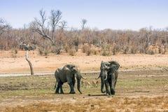 Afrikanische gehende Buschelefanten, in Kruger-Park, Südafrika Stockfotografie