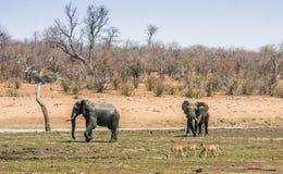 Afrikanische gehende Buschelefanten, in Kruger-Park, Südafrika Lizenzfreies Stockbild